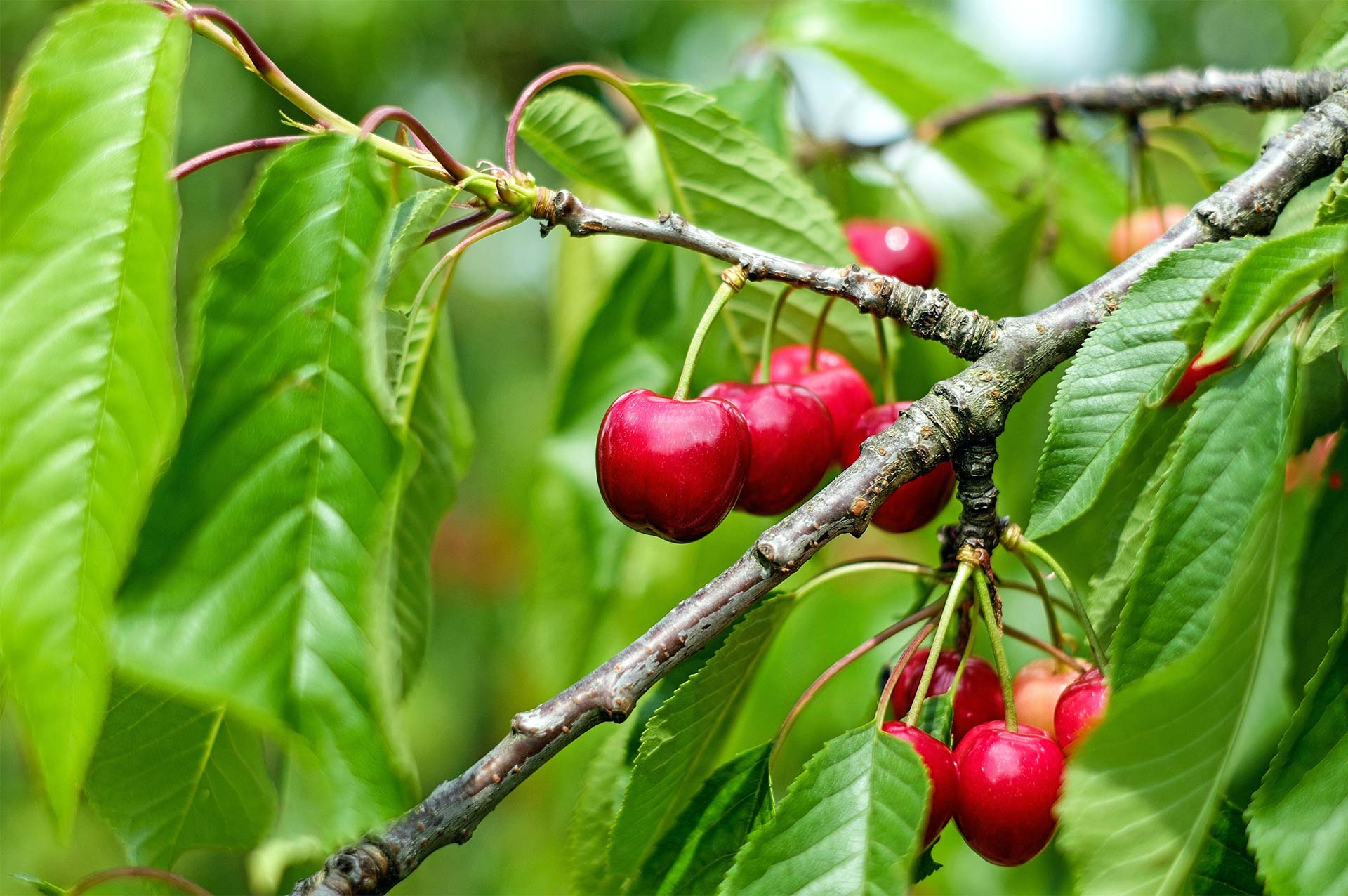 Cherries from The Fruit Farm Group